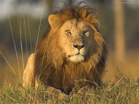 Nature Animals Lions Documentary 1280x960 Wallpaper High