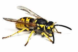 Was Machen Wespen Im Winter : wespen bek mpfen n rnberg wespenbek mpfung kammerj ger ~ Lizthompson.info Haus und Dekorationen