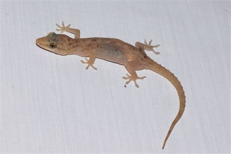 not cicak di dinding file house gecko jpg wikimedia commons