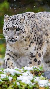 229 best Snow Leopard images on Pinterest | Big cats, Snow ...