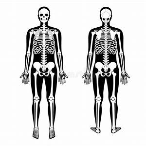 Front And Back View Of A Human Skeleton Stock Illustration