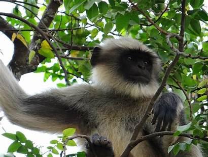 Monkey Hanuman Facts Interesting Langur Asian Rainforest