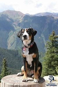 Greater Swiss Mountain Dog Complete Breed Information and ...
