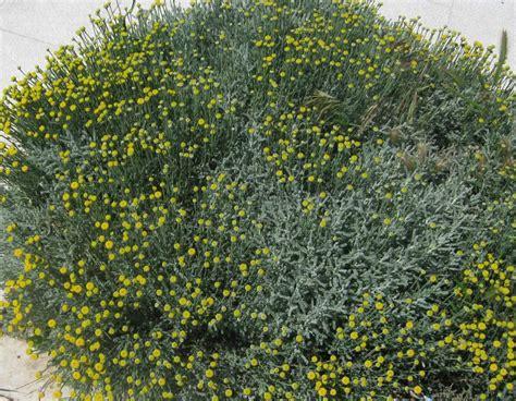lavender cotton santolina chamaecyparissus lavender cotton go botany