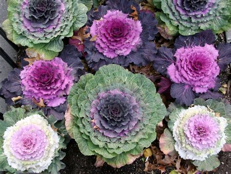 ornamental cabbage perennial ornamental cabbage 1 fifth avenue sidewalk garden photo hubert steed photos at pbase com