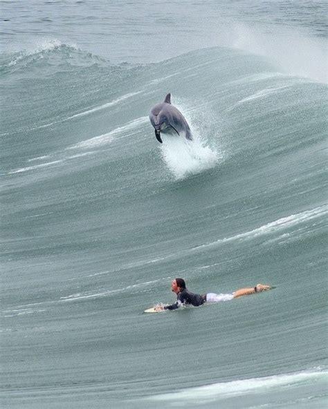 great photo   dolphin surfing  surfer favethingcom