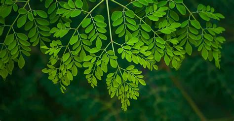 Why to avoid moringa leaves during Karkidakam   Drumstick ...