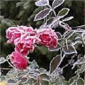 Rosen Zurückschneiden Wann Und Wie Weit : rose 39 fairy prince 39 erfahrungsbericht pflege schneiden bodendeckerrose rosa 39 fairy prince ~ Buech-reservation.com Haus und Dekorationen
