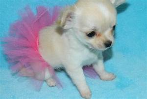 Teacup pomeranian for sale - here at teacups, puppies and