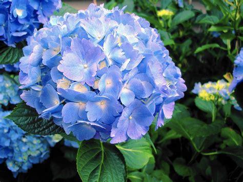 feeding hydrangeas in pots gardening are epsom salts for hydrangeas the morning call