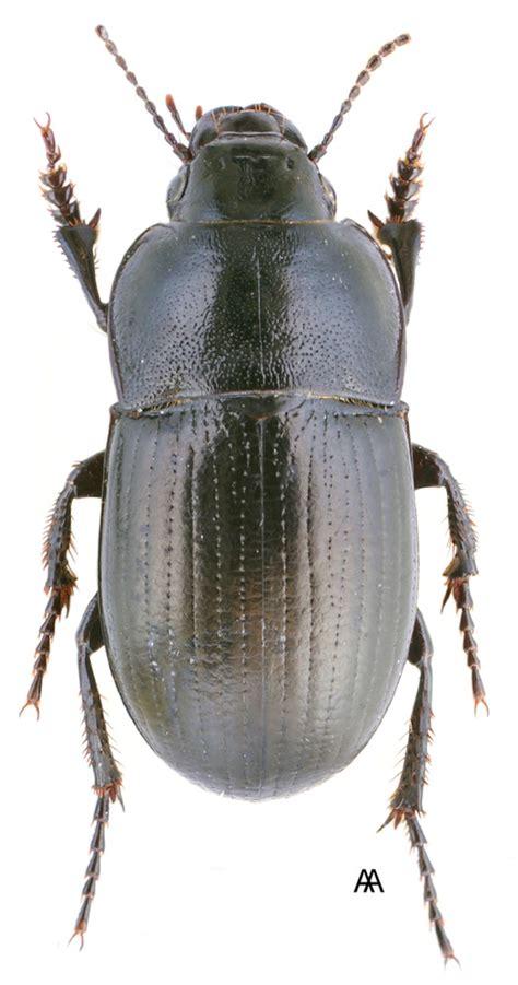 Zabrus peristericus