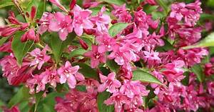Weigela Bristol Ruby : weigela wine and roses planting instructions best ~ Michelbontemps.com Haus und Dekorationen