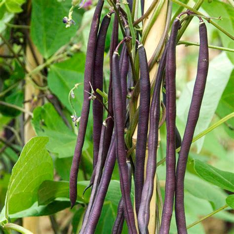Climbing French Bean Seed  Carminat Dobies