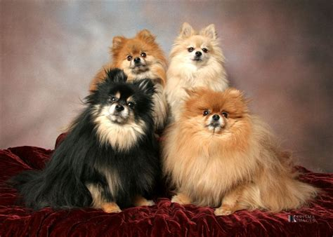 toy group pomeranian dog breeds picture