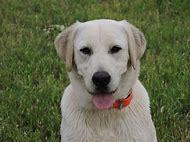 Silver Labrador Retriever Puppies for Sale