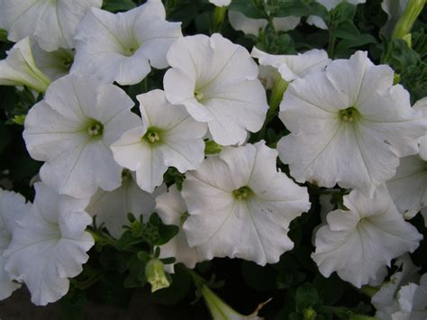easy wave petunias white easy wave petunia basket