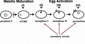 Which Diagram Represents Prophase I Of Meiosis