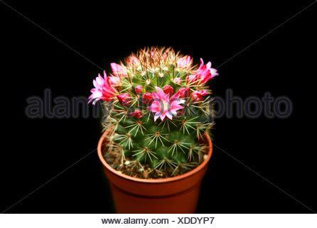kaktus mit blüten kaktus mit bl 252 henden blumen stockfoto bild 11656502 alamy