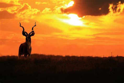 kudu bull king  twirl  curl animal