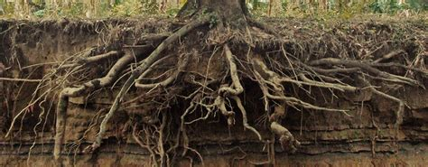 cedar tree root system ash tree root structure bing images