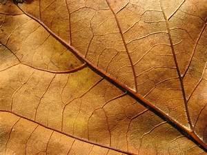 Free Plants texture (leaf, leaves, vein)