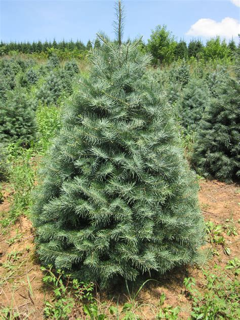 best rated fresh trees delivered to home trees hollow tree farm