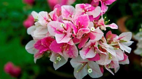bougainvillea colors bougainvillea the lovely plants