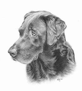 Ghira - Chocolate Lab Drawing by Heather Page