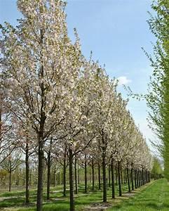 Prunus serrulata 'Sunset Boulevard' | Van den Berk Nurseries