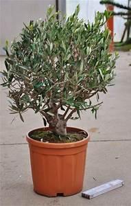Bonsai Baum Schneiden : olivenbaum bonsai von der palmenmann auf kaufen ~ Frokenaadalensverden.com Haus und Dekorationen