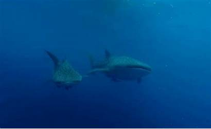 Whale Sharks Shark Marine Fish Grogan Sea