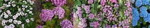 Hortensien überwintern Im Garten : hortensien berwintern blumen und str ucher ~ Frokenaadalensverden.com Haus und Dekorationen