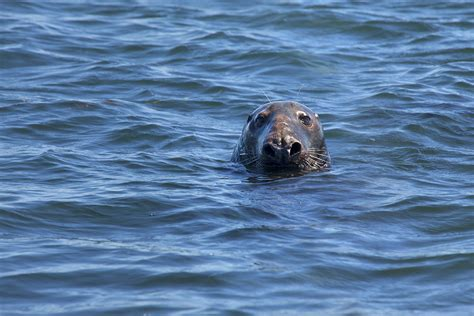Seals On Cape Cod  Photographs  New England Today