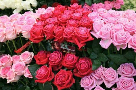 menanam bunga mawar tanaman hias bunga buah  sayur