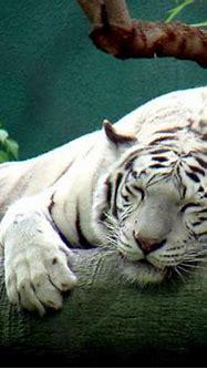 sleeping... | Tigers, Lions, Cougars, Jaguars, etc ...