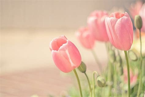 Pink Tulip Backgrounds by Tulip Wallpaper Wallpapersafari