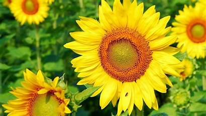 Untuk Bunga Laptop Sunflower Wallpapers Sunflowers Gambar