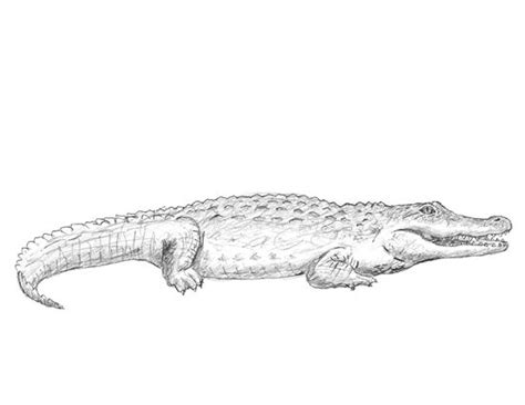 draw  crocodile drawing  art pinterest