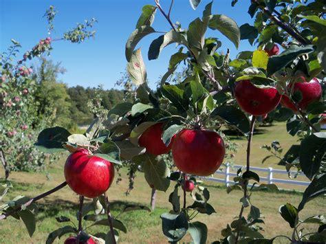 Apple Varieties   Autumn Harvest Orchard, LLC