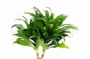 Dracaena plant isolated on the white background Stock
