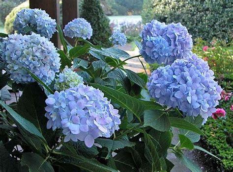 hortensie endless summer schneiden hortensien richtig schneiden garten ziergarten garten und diy garten