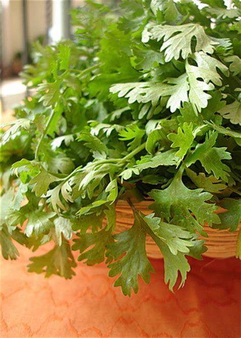 pachi kothimira pachadi raw coriander chutney