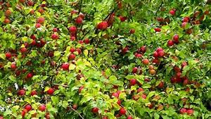 Apfelbaum Schneiden Sommer : apfel video pflegehinweise g rtnertipps und weitere ~ Lizthompson.info Haus und Dekorationen