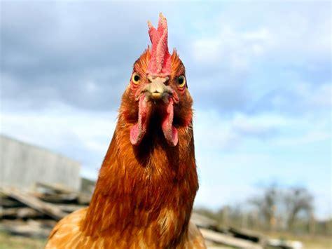 animal timer intelligence il ne faut pas sous estimer les poulets