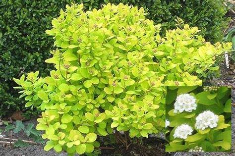 gold leaf spirea my garden