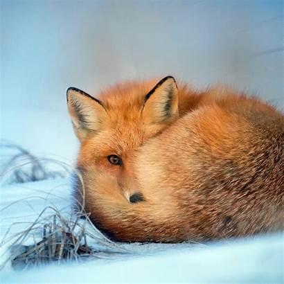 Nature Fox Winter Cold Animal Bokeh Pattern