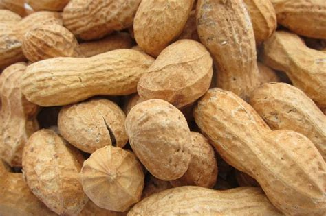 how to roast peanuts in the shell peanuts roasted in shell no salt 12 oz
