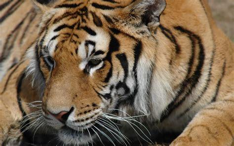 Online Wallpapers Shop Free Tiger Wallpaper Desktop