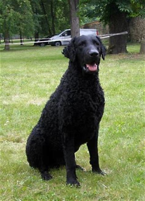 curly coated retriever breed information history health
