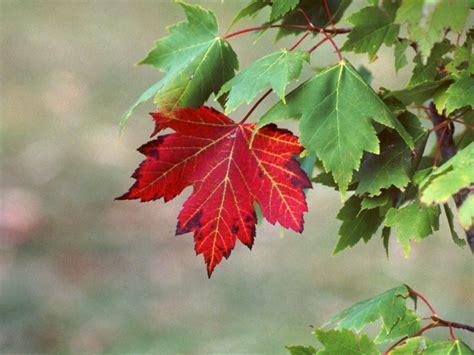 maple tree leaf types of maple trees leaves suzuki cars
